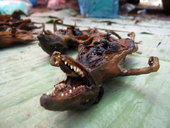 rat in laos