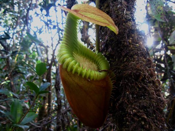 nepenthes pitcher plant borneo kinabalu