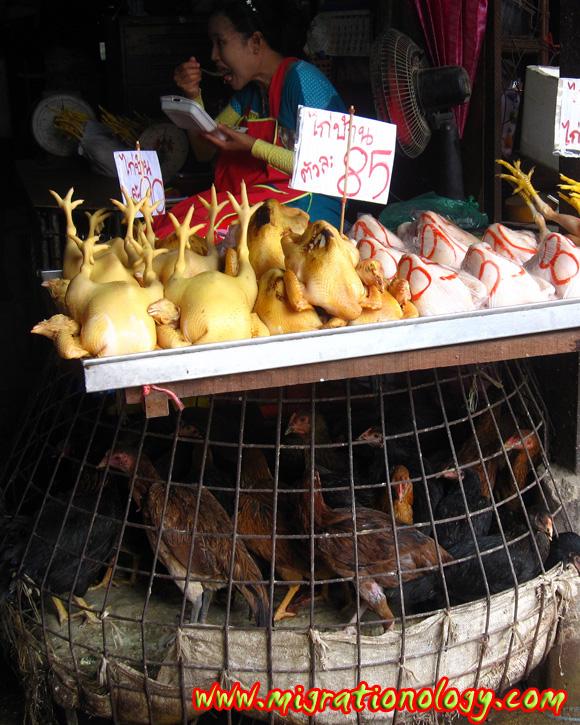 life of a thai chicken