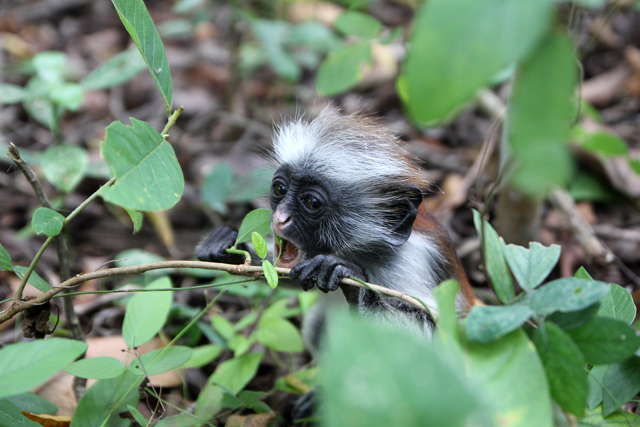 Red colobus monkey in the Jozani Forest
