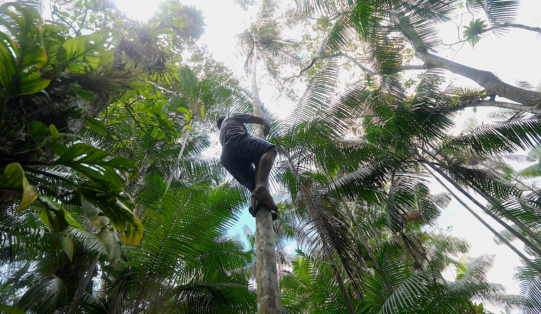 Climbing the thin acai palms takes experience, and Flavio has a lifetime of it!