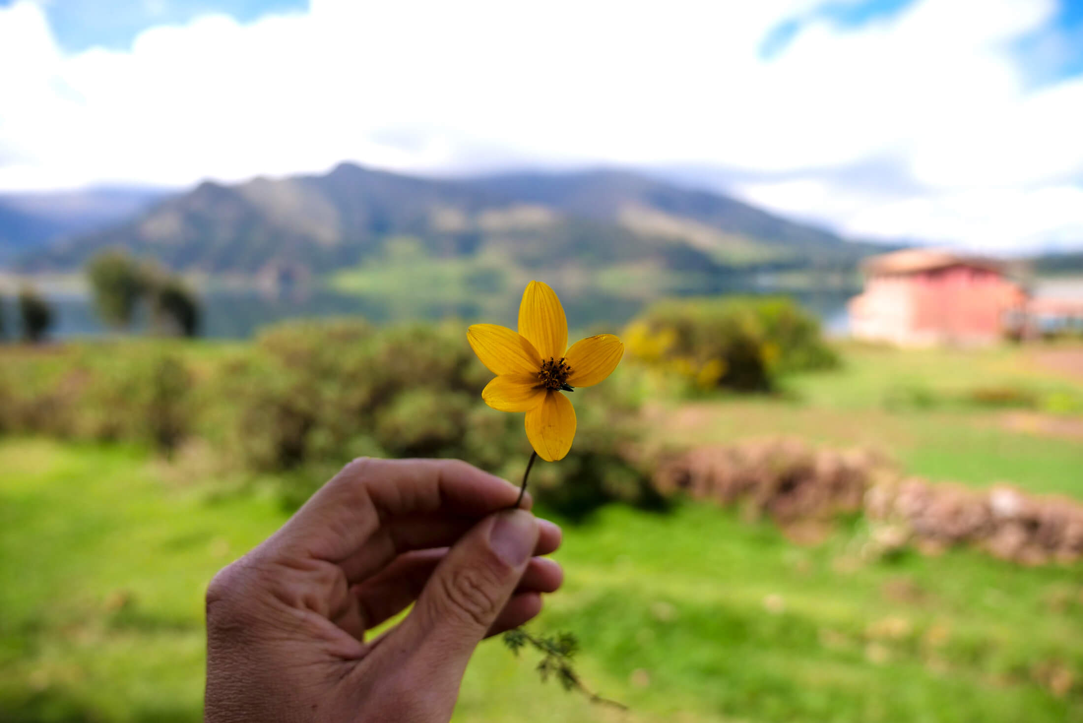 A flower grows in the Clean mountain air, the Andes Mountain areas of Peru.