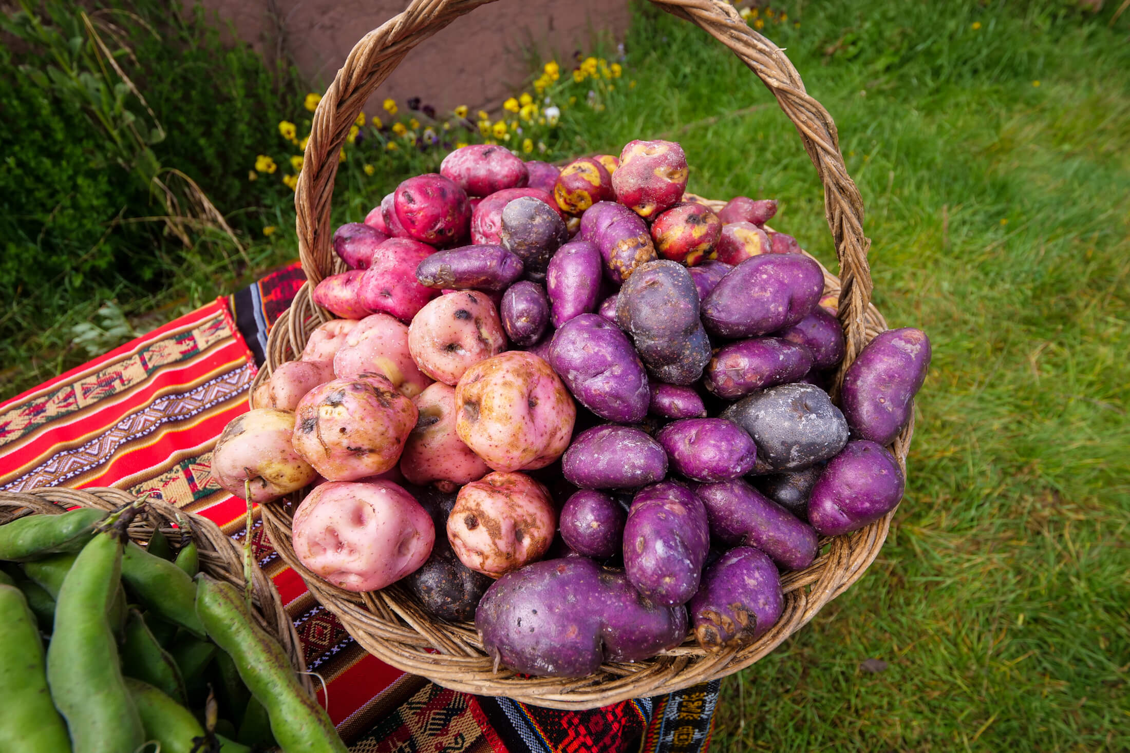 a basket of colorful potatoes, all of which are locally grown