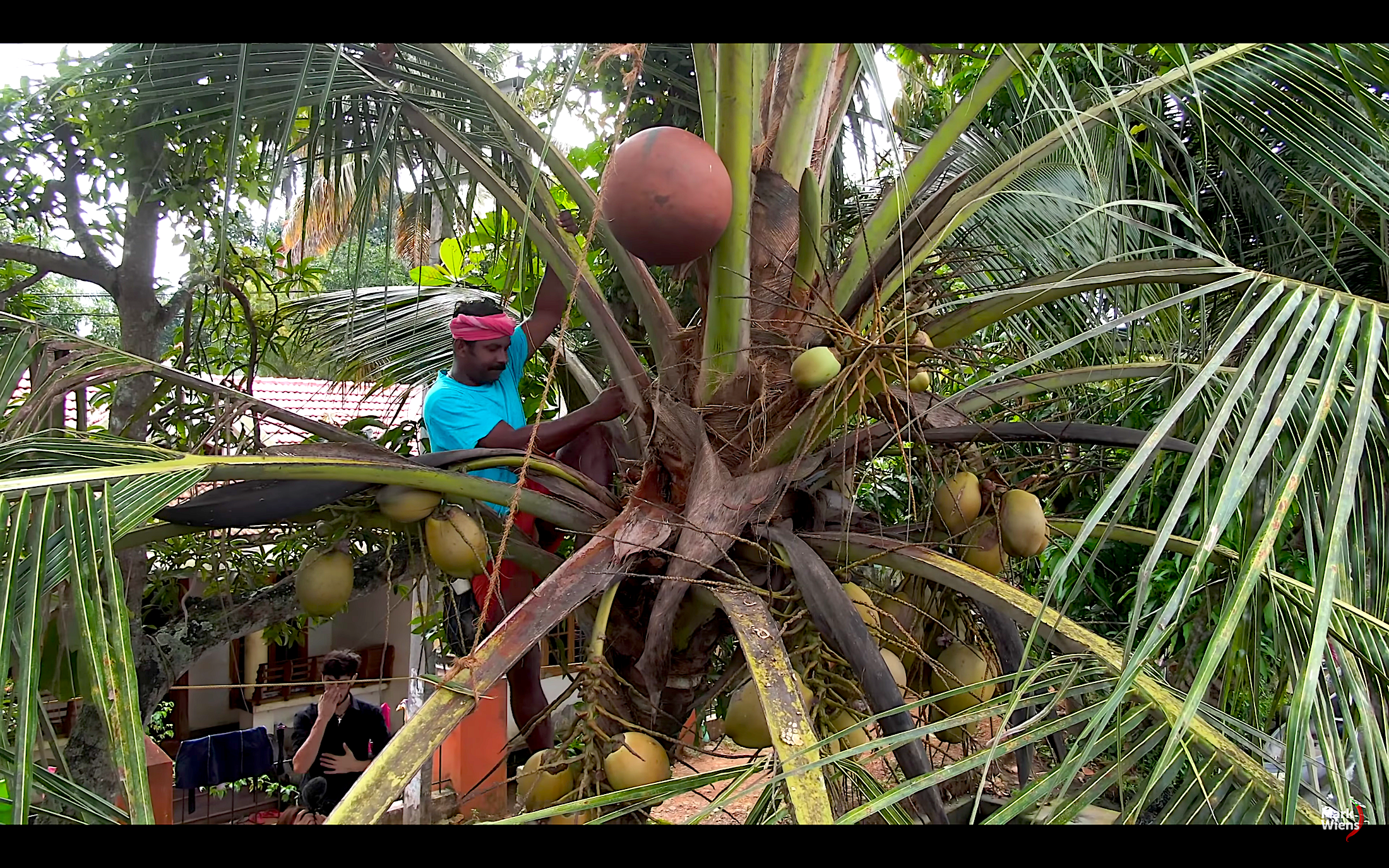 an amazing process how people in Kerala collect the fresh toddy!